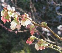 素人のガーデニングと趣味のブログ-ブルーベリーの花