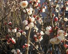 素人のガーデニングと趣味のブログ-小田原梅の花