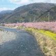 河津桜と三浦。