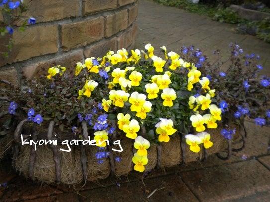 キヨミのガーデニングブログ-ベロニカオックスフォードブルーの画像