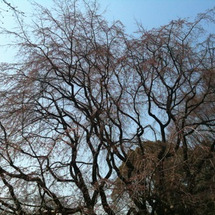 六義園の枝垂桜