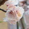 3月28日 誕生花の画像