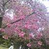 マゼンタカラーの桜の画像