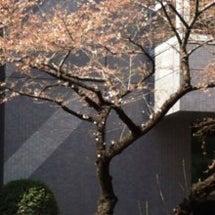 桜が咲いてます。