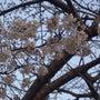 金山川の桜は、もうす…