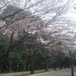 光ヶ丘公園の桜