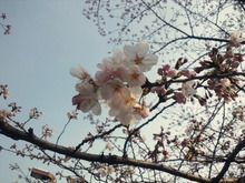 遥香の近況日記-sakura2