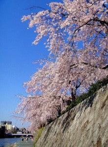 京都・鴨川の桜の記事より