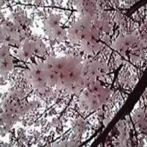桜、ご一緒に