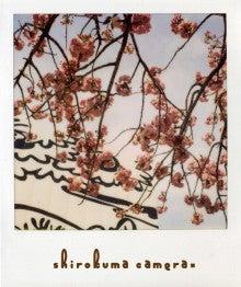 シロクマカメラ。-桜の時