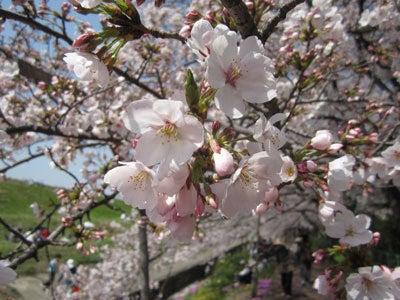 のほほん日記 in 大阪-桜