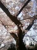 の~んびり のびのび-桜