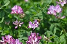 chu98xpのブログ-レンゲと蜜蜂
