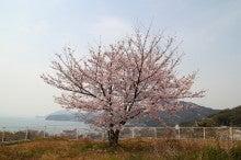 ~ぶらっとひとり旅~-1本桜