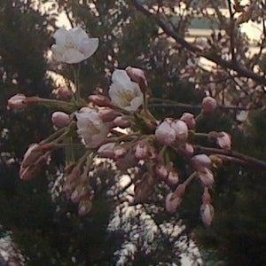 大連(中国)のWebデザイン会社で働く社長のブログ-中国大連の桜が咲きました2
