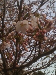大連(中国)のWebデザイン会社で働く社長のブログ-中国大連の桜が咲きました