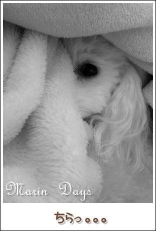 トイプードル MARIN + DAYS