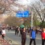 ソウル「桜祭り」(ト…