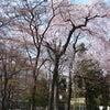 桜咲く2011年の画像