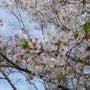 すっかり葉桜