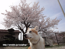 幸太のお散歩日記-20110417桜