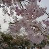 ◆Cherry blossom season in Kyotoの画像