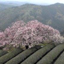 遠山桜満開