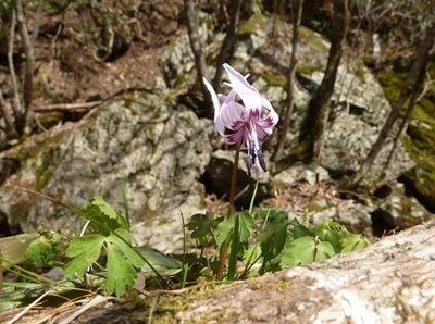 やらんとね・・・-平成23年4月20日 小田深山 カタクリの花