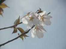 馬を愛する男のブログ Ebosikogen Horse Park-山桜