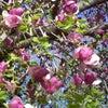 かろうじて残ってたモクレンやぼたん桜。。ついでにすおうも紹介します。の画像