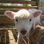 羊の赤ちゃん名前発表…