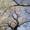 桜。の画像