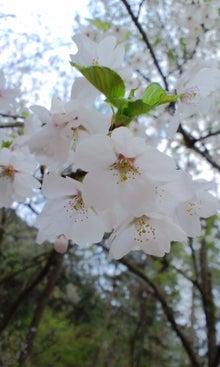 $てぬぐい作家 tenugui chaco のブログ-4/25 花 6