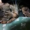 愛猫、ちびデリアの画像
