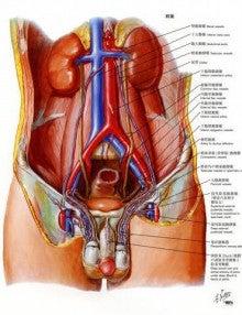 momiのブログ-骨盤臓器の動静脈