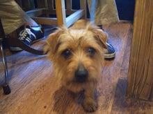 ドッグカフェ&バーRuncafeと愛犬達との日常-ノーフォークテリアのロッソ君