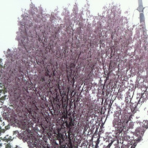 桜の開花に寄せて