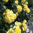 バラのシーズンらしい