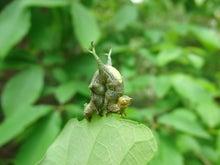 ナチュラリストのブログ                                     ネイチャーフィールド-シャクガ幼虫sp
