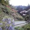 ∵ 藤の花の画像