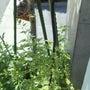 イタリアンパセリ花