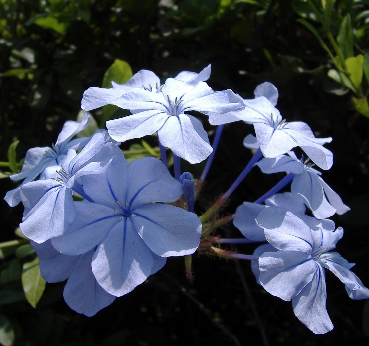 ペルー花百科-ルリマツリ花