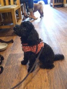 ドッグカフェ&バーRuncafeと愛犬達との日常-トイプードル