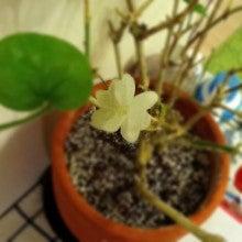 $Plumerium-ピカケの花が咲きました