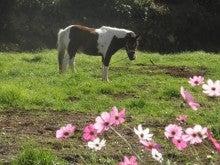 馬を愛する男のブログ Ebosikogen Horse Park-コスモスとチェリー