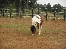 馬を愛する男のブログ Ebosikogen Horse Park-可愛い三つ網