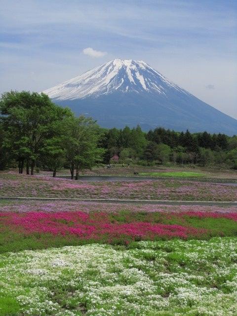 富士芝桜まつり2011開花状況まばらで入園料無料情報の写真 画像