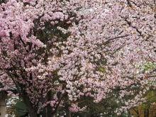 三和石材のブログ-sakura2011_01