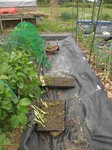 耕作放棄地をショベル1本で畑に開拓!!週2日で10時間の家庭菜園 byウッチー-110524イチゴの苗取り02