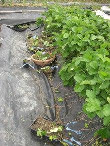 耕作放棄地をショベル1本で畑に開拓!!週2日で10時間の家庭菜園 byウッチー-110524イチゴの苗取り01